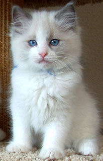 Oregon Ragdoll Kitten