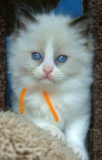Beautiful blue-eyed ragdoll kitten