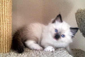 Ragdoll cat oregon sale